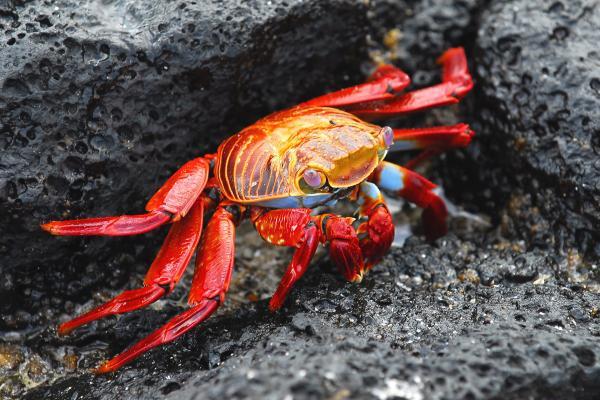 Sally Lightfoot Crab Print by Alan Lenk