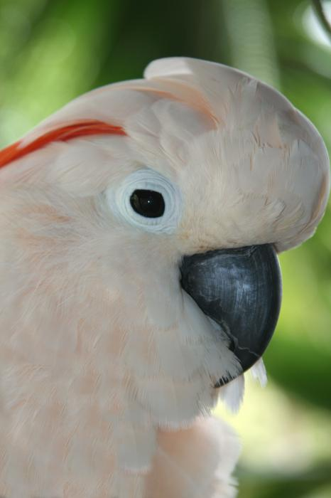 Sharon Mau - Salmon Crested Moluccan Cockatoo