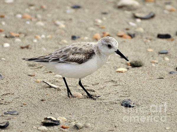 Sanderling Print by Al Powell Photography USA