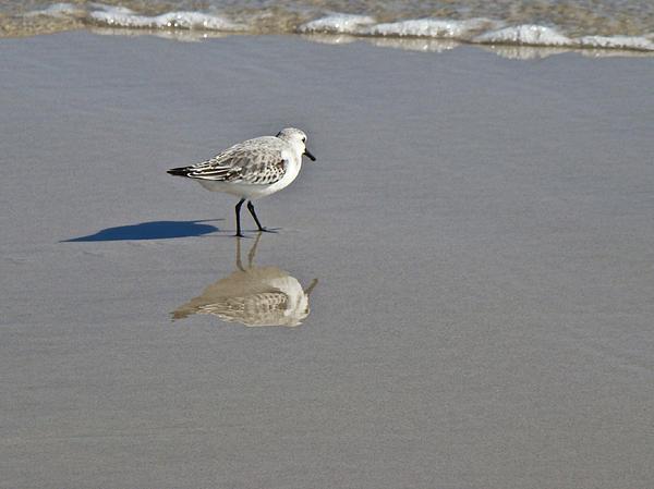 Mother Nature - Sanderling Sandpiper - Calidris alba