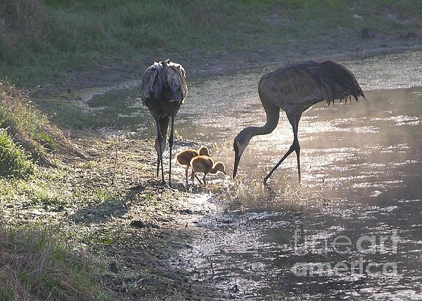 Sandhill Crane Family In Morning Sunshine Print by Carol Groenen