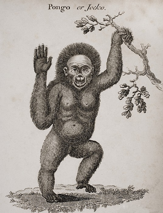 Satyrus, Ourang Outang. Pongo Or Jocko Print by Ken Welsh