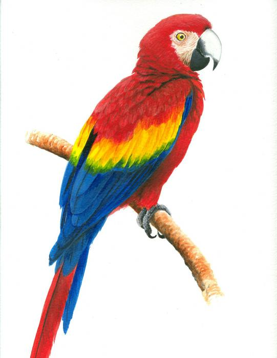 Scarlet Macaw By Christopher Cox