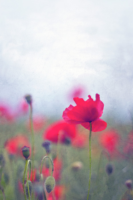 Scarlet Poppies In Painterly Style Print by Image by Catherine MacBride