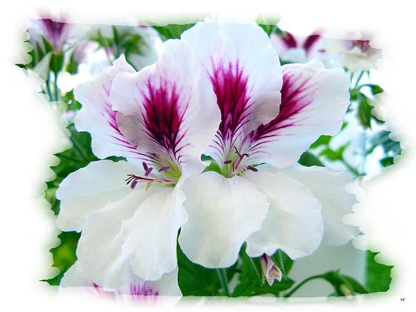 Scented Geraniums 2 Print by Will Borden