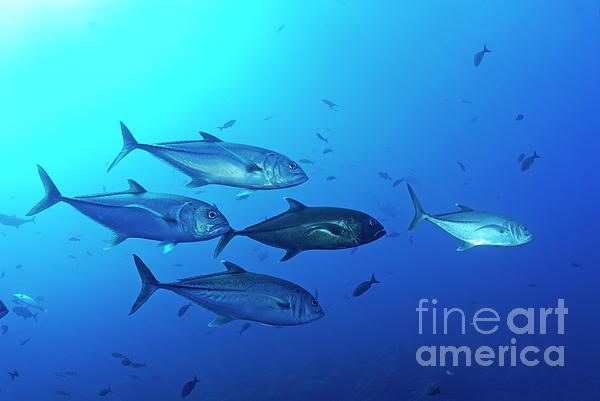 School Of Bigeye Jack Fishes Print by Sami Sarkis