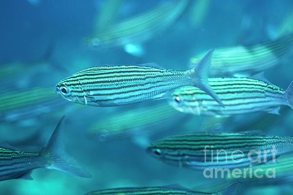 School Of Black Striped Salema Fishes Print by Sami Sarkis