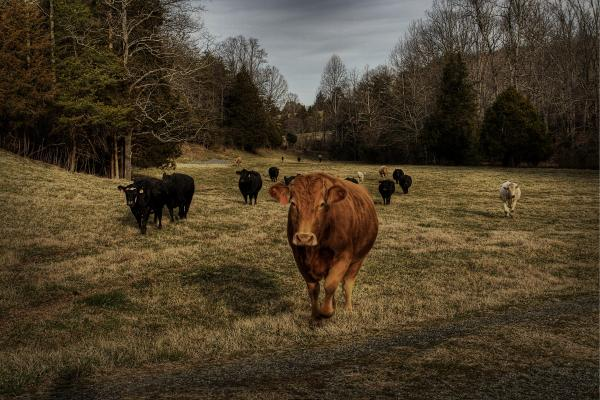 Scotopic Vision 9 - Cows Come Home Print by Pete Hellmann