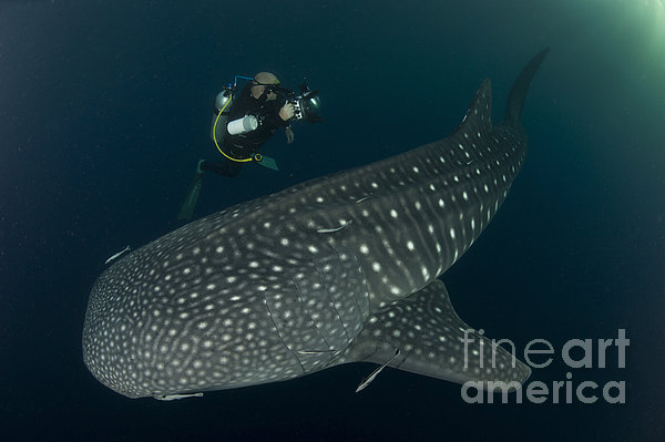 Scuba Diver And Whale Shark, Papua Print by Steve Jones
