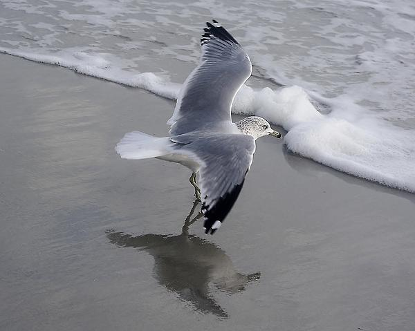 Sea Gull By The Sea Shore Print by Paulette Thomas