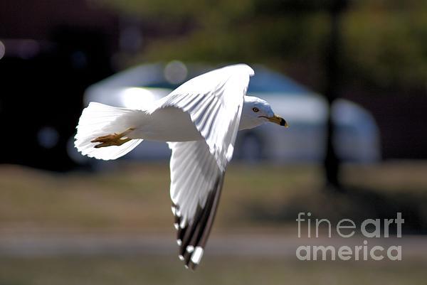 Sea Gull In Flight Print by Mark McReynolds