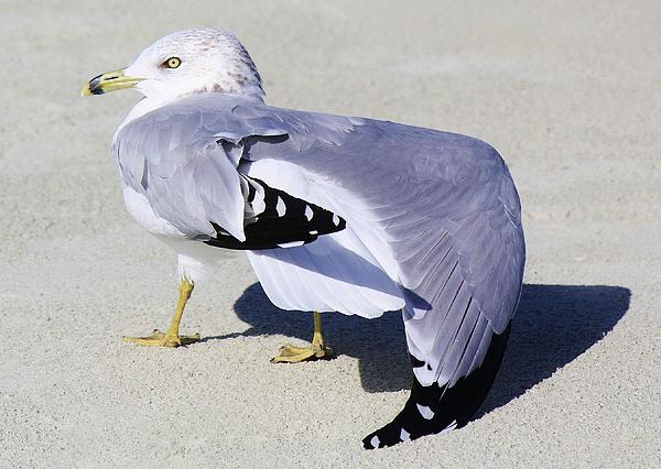 Sea Gull Stretching It Out Print by Paulette Thomas