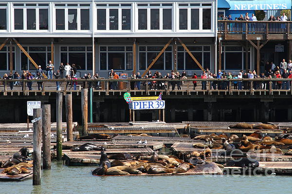 Sea Lions At Pier 39 San Francisco California . 7d14272 Print by Wingsdomain Art and Photography
