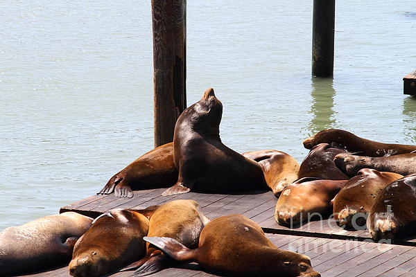 Sea Lions At Pier 39 San Francisco California . 7d14314 Print by Wingsdomain Art and Photography