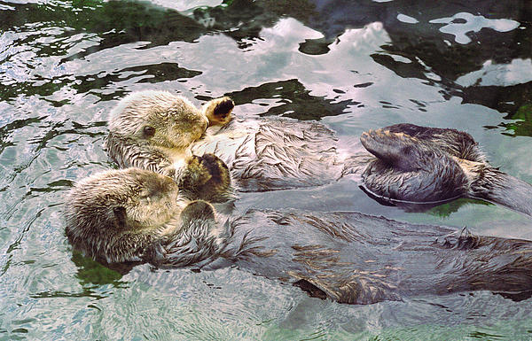 Sea Otters Holding Hands Print by BuffaloWorks Photography