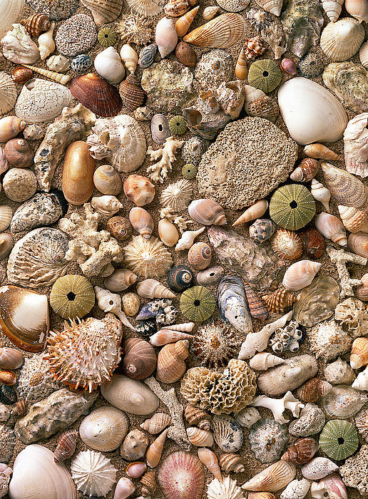 Sea Shells Print by Mauro Celotti