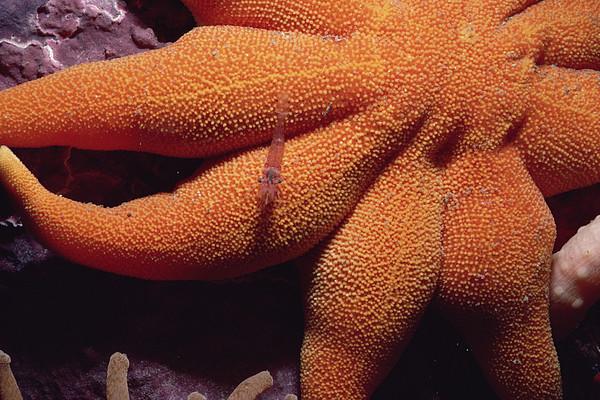 Sea Star With Red Shrimp Baffin Island Print by Flip Nicklin