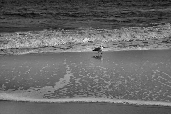 Seagull And Surf Print by Steven Ainsworth