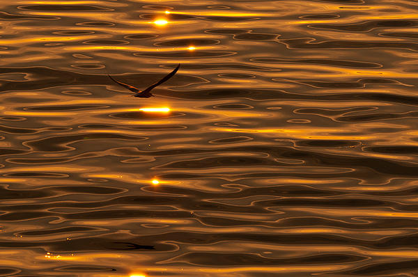 Seagull At Sunset Print by Micael  Carlsson