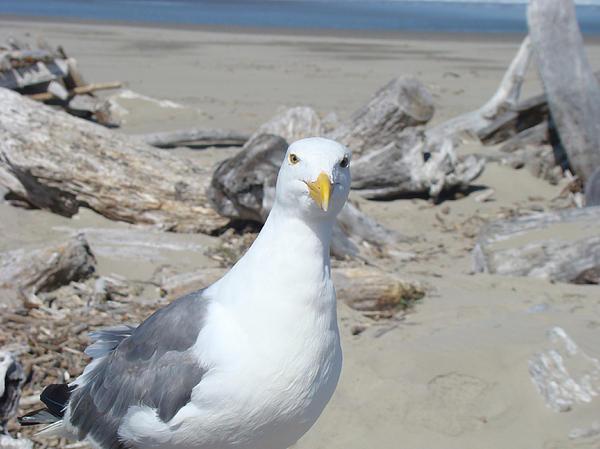 Seagull Bird Art Prints Coastal Beach Driftwood Print by Baslee Troutman Fine Art Photography