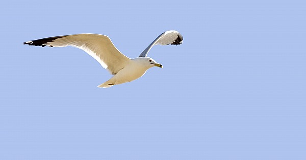 Seagull In Flight Print by Don Hammond