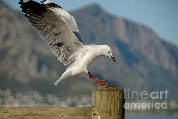 Seagull Landing On Pole Print by Sami Sarkis