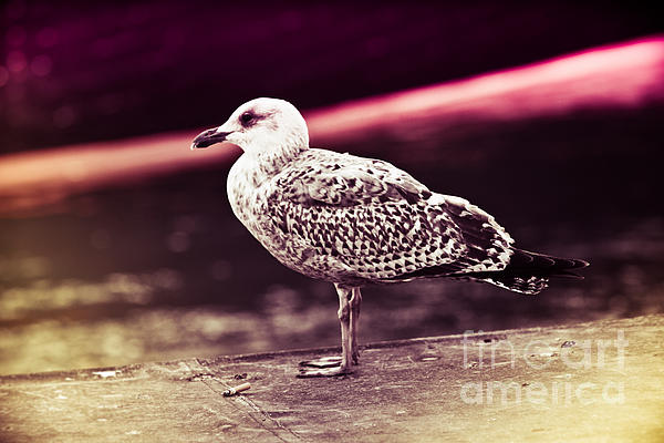 Nick Karvounis - Seagull On Holga Film Copenhagen
