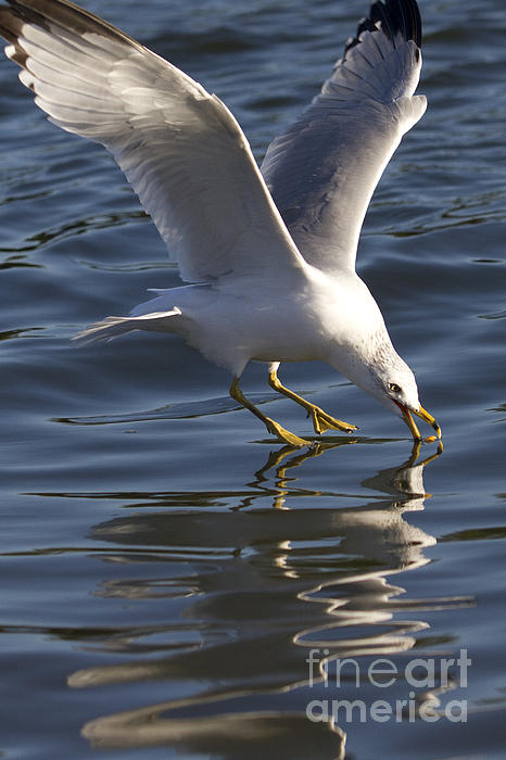 Seagull on Water Photograph