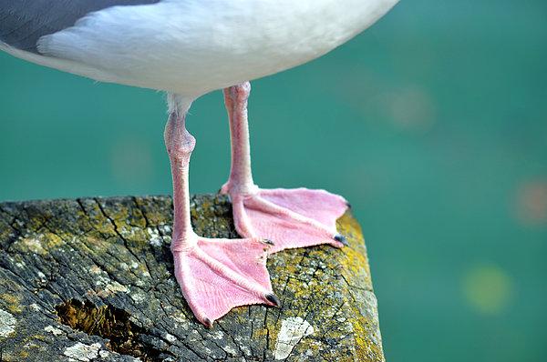 Seagull Print by V Chettleburgh