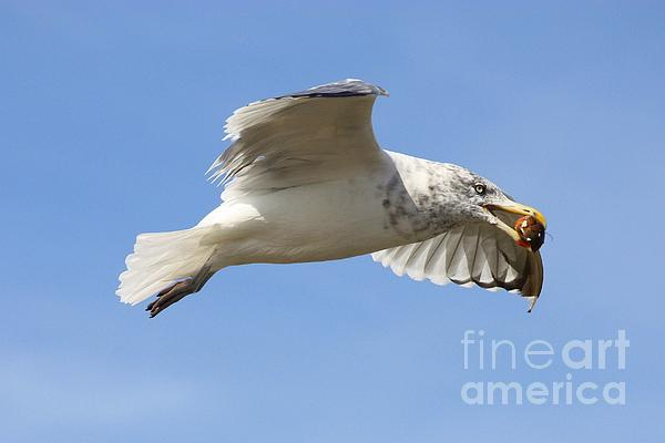 Seagull With Snail Print by Carol Groenen