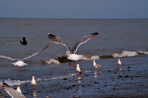 Seagulls Dip Netting  Print by Debra  Miller