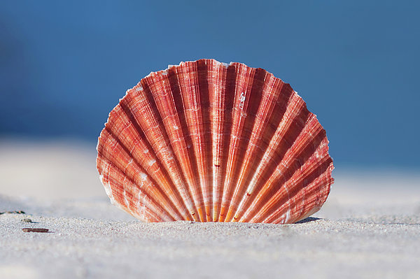 Seashell In Sand With Blue Ocean Background Print by Tanya Ann Photography