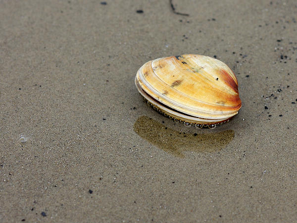 Lynne Dymond - Seashell on Sandy Seashore