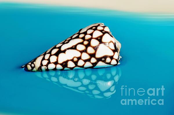 Kaye Menner - Seashell Wall Art 8 - Conus Marmoreus