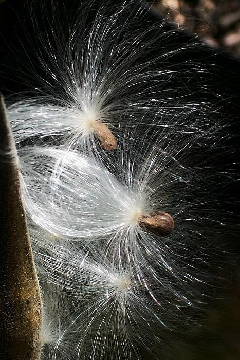 Wide Awake  Arts - Seed Dancers