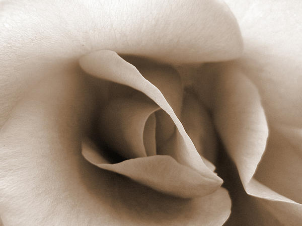 Janet Kearns - Sepia Rose