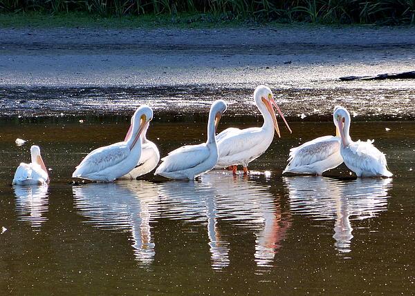 Cindy Wright - Seven Pelicans Brief