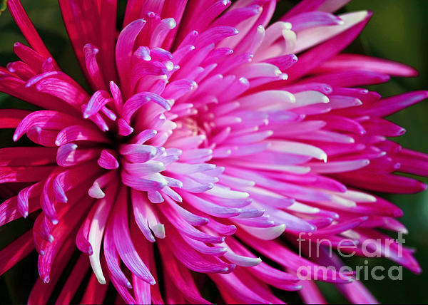 Inspired Nature Photography By Shelley Myke - Shades of Pink - Chrysanthemum Flower