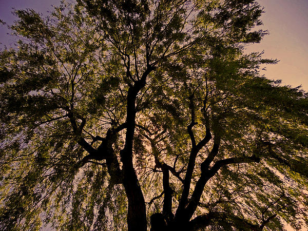 Shady Tree ... Print by Juergen Weiss