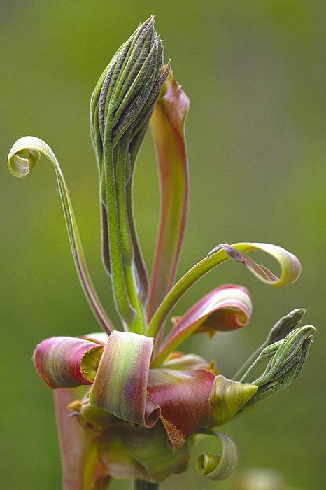 Bernard Lynch - Shagbark Hickory Leaf and Flower Bud