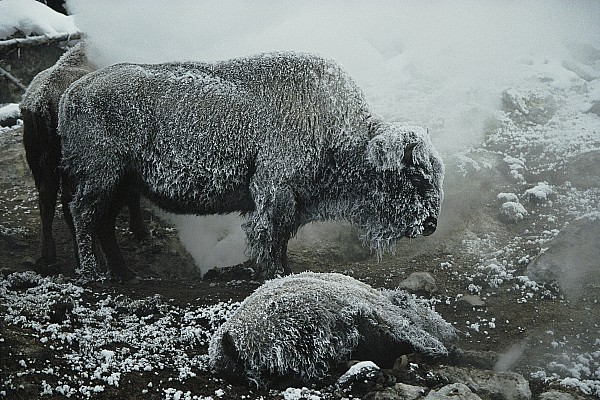 Shaggy With Rime, An American Bison Print by Michael S. Quinton