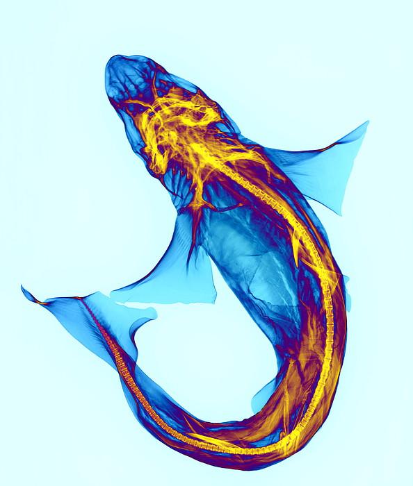 Shark Print by D. Roberts