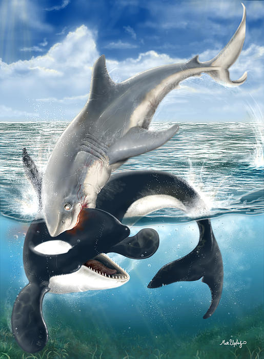 Who Would Win Killer Whale vs Great White Shark