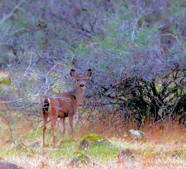 Joyce Dickens - Shasta County Deer