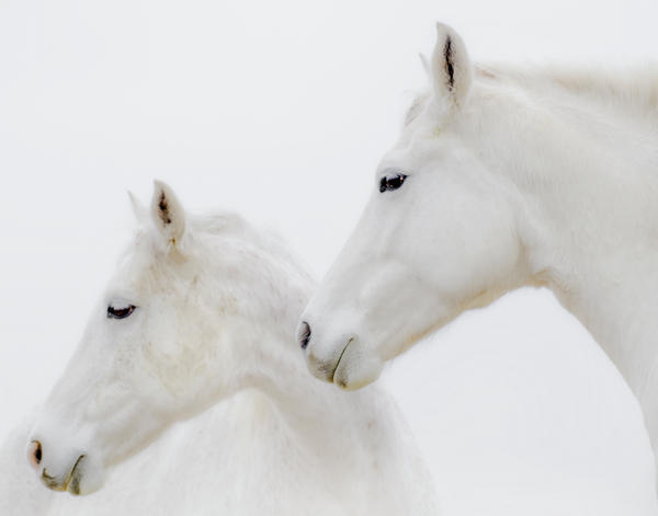 She Dreamed Of White Horses Print by Ron  McGinnis