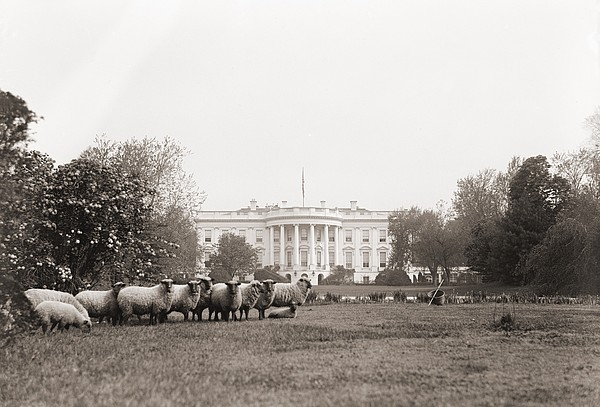 Sheep Grazing On The White House Lawn Print by Everett