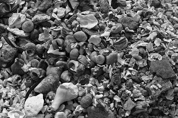 Shells Iv Print by David Rucker