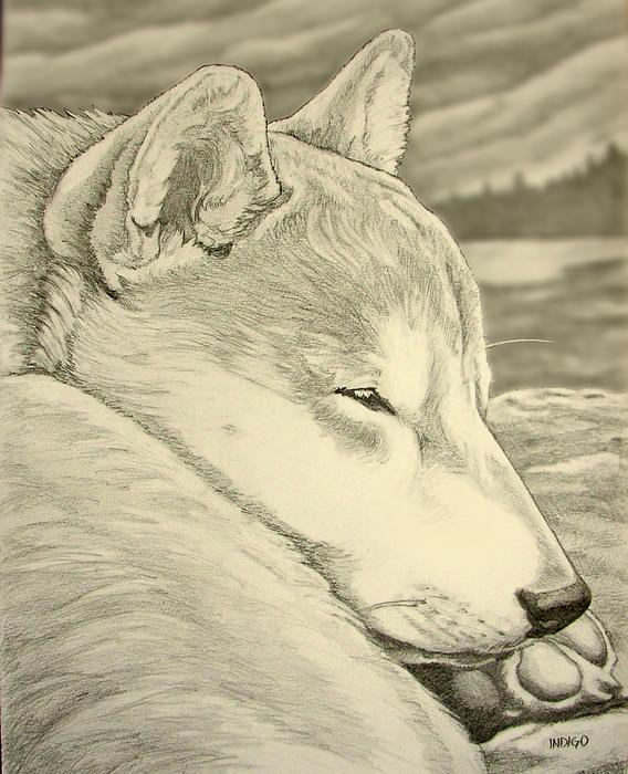 Shiba Inu Print by Kim Hunter