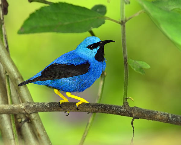 Shining Honeycreeper Print by Tony Beck