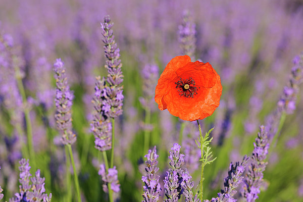 Shirley Poppy In English Lavender, Valensole, Valensole Plateau, Alpes-de-haute-provence, Provence-alpes-cote D Azur, Provence, France Print by Martin Ruegner